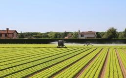 一个莴苣领域的灌溉系统在夏天 免版税图库摄影