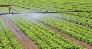 一个莴苣领域的自动灌溉系统在夏天 库存图片
