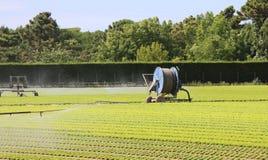 一个莴苣领域的自动灌溉系统在夏天 图库摄影