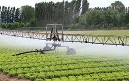 一个莴苣领域的自动洒水装置在夏天 图库摄影