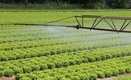 一个莴苣领域的自动洒水装置在夏天 库存图片