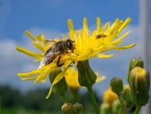 一个黄蜂在工作 免版税库存照片