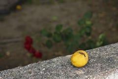 一个破裂的柠檬-如此成熟 免版税库存照片