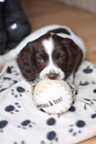 一个年轻运作的类型英国斯伯林格使用与a的西班牙猎狗小狗 免版税图库摄影