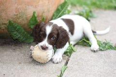 一个年轻运作的类型英国斯伯林格使用与a的西班牙猎狗小狗 免版税库存图片