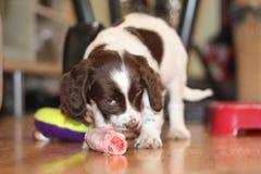 一个年轻运作的类型英国斯伯林格西班牙猎狗小狗吃未加工的mea 图库摄影