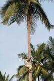 一个年轻非洲黑人人爬上棕榈树干。 免版税库存图片