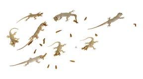 一些只小壁虎在insectson寻找白色背景 免版税图库摄影