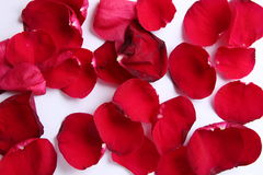 一些在白色背景的玫瑰色叶子 库存图片