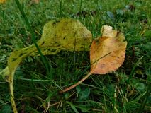 一些在绿色风景的秋天叶子 两片叶子的细节 库存图片