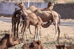 一些头骆驼在普斯赫卡尔, Mela 免版税图库摄影