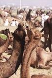 一些头骆驼在普斯赫卡尔, Mela 库存照片