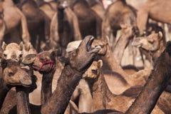 一些头骆驼在普斯赫卡尔, Mela 免版税库存照片