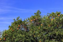 一些成熟加利福尼亚橙色垂悬在树 免版税库存照片
