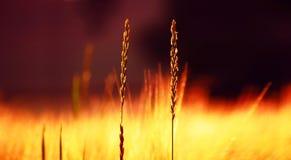 一些晴朗的夏天领域草特写镜头  Ultrawide背景,温暖的颜色 免版税图库摄影