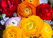 一些朵色的毛茛花 免版税库存照片