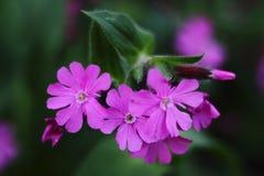 一些桃红色花在庭院里 免版税库存照片