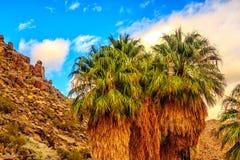 一些棵扇形棕榈树在约书亚树国家公园 免版税库存图片