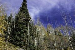 一些棵杉树 免版税库存图片
