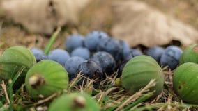 一些狂放的莓果和无花果在森林里 免版税库存照片