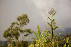 一些玉米种植和玉树 免版税库存图片