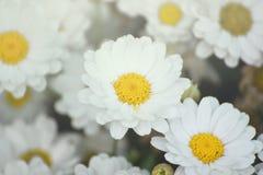 一些白色延命菊花 有开放瓣和黄色雄芯花蕊的雏菊庭院 免版税图库摄影