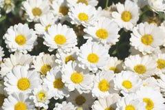 一些白色延命菊花 有开放瓣和黄色雄芯花蕊的雏菊庭院 图库摄影