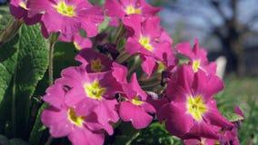 一些紫色中提琴在庭院里 影视素材