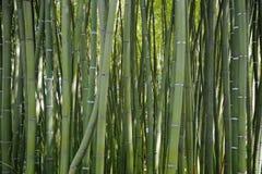一些绿色竹藤茎在森林里 免版税库存图片