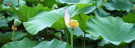 一些莲花瓣在河在夏天 免版税库存照片