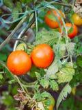 一些被剥去的健康蕃茄在灌木垂悬 库存照片