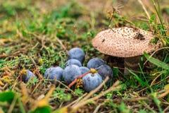 一些野生蘑菇和莓果在森林里 库存图片