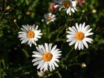 一些延命菊开花 库存照片