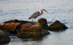 一伟大蓝色的苍鹭的巢天 免版税库存图片