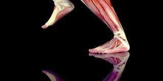 一位人的慢跑者的人的男性身体解剖学例证与可看见的肌肉的 库存照片