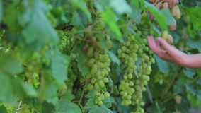 一位农夫的特写镜头由secateur的切除了喧闹白色大成熟葡萄,步行通过葡萄园 股票录像
