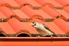 一位喧闹的矿工(Manorina melanocephala)一个红色屋顶的 免版税库存图片