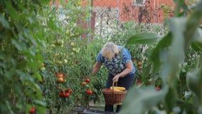 一位妇女农夫在她的庭院会集女主人寻找在灌木的成熟蕃茄的一个成熟收获,运载a 股票视频