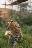 一位微型猎人 图库摄影