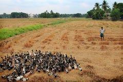 一位未认出的鸭子农夫在米领域引导他的鸭子 免版税库存照片