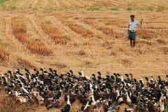 一位未认出的鸭子农夫在米领域引导他的鸭子 库存照片