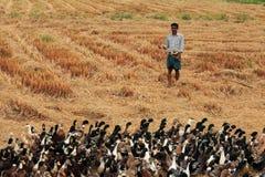 一位未认出的鸭子农夫在米领域引导他的鸭子 免版税图库摄影