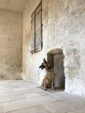 一位比利时牧羊人和房子 免版税库存照片