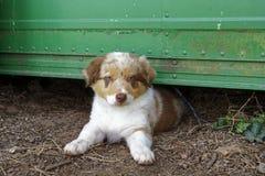 一位美丽的年轻澳大利亚牧羊人 图库摄影