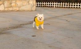 一佩带的黄色衣裳小狗使用 免版税库存照片