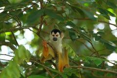 一共同的松鼠猴子松鼠猴属sciureus的特写镜头 库存图片