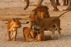 一共狮子家庭壮观的自豪感  库存照片