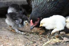 一刚下的小鸡和他的妈妈 免版税图库摄影