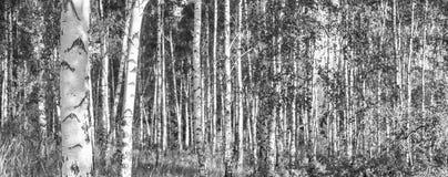 一副晴朗的夏日风景横幅的桦树树丛 免版税图库摄影