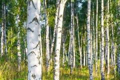 一副晴朗的夏日风景横幅的桦树树丛 库存图片